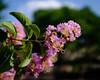 Dreamy Crepe Myrtle (Zac_0351) Tags: x100f f2 nd builtinnd fujifilm crepmyrtle crepemyrtle spring springtime
