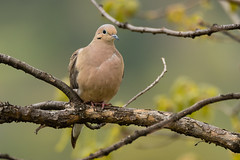 Mourning Dove (Zenaida macroura) (Brown Acres Mark (always 2 days behind)) Tags: mourningdove zenaidamacroura emigrantlake jacksoncounty oregon usa markheatherington
