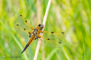 Libellula quadrimaculata, ♂, Four-spotted chaser, Vierfleck