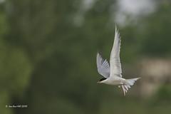 _JRH1979 (jeanrene31240) Tags: oiseaux sternes sternespierregarin occitanie ariège mazères domainedesoiseaux sternahirundo