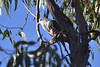 Pacific Baza (Luke6876) Tags: pacificbaza hawk birdofprey raptor bird animal wildlife australianwildlife