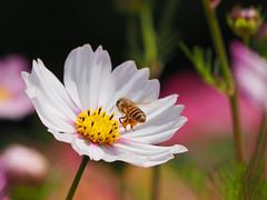 Celebrate the World Bee Day on May 20 (snapcat101) Tags: p3231153 hongkongflowershow2018 hkflowershow2018 香港花卉展覽2018 victoriapark