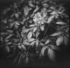 rhododendron blossom, leaves, Asheville, NC, Diana F+, Kodak TMAX 400, Ilford Ilfosol 3 developer, early May 2018 (steve aimone) Tags: rhododendron blossom leaves bush asheville northcarolina dianaf kodaktmax400 ilfordilfosol3developer squareformat 120 film 120film mediumformat monochrome monochromatic blackandwhite floral flower bloom lomography