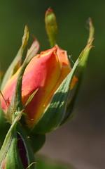 DSC_9991 (PeaTJay) Tags: nikond750 sigma reading lowerearley berkshire macro micro closeups gardens outdoors nature flora fauna plants flowers rose roses rosebuds