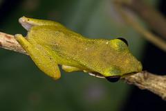 Chalcorana chalconota (NakaRB) Tags: malaysia borneo sarawak bakonationalpark 2017 amphibia anura ranidae chalcoranachalconota