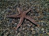 Estrellita (aliciap.clausell) Tags: estrellademar mar sea nature naturaleza equinodermo playa beach mediterráneo