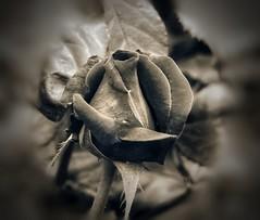 Quedaté con el que saque lo mejor de tí y  te meta lo mejor de él. (elena m.d.) Tags: flores flower sepia monocromo nikon d5600 sigma105 elena