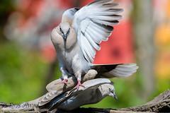 x3DSC_8473 (Eyas Awad) Tags: tortoradalcollare streptopeliadecaocto bird birds birdwatching wildlife nature eyasawad nikond4 nikond500 sigma500f45 nikonafs300mmf4