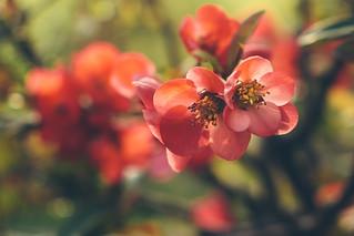 Japanese Quince – Chaenomeles  speciosa