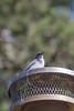 IMG_5952 (armadil) Tags: backyard lifeathome bird birds jay jays scrubjay