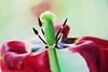 Beauté envolée (Chamaloote & Fabrizio) Tags: macro tulipe canon vert rouge pistil pétale fleur nature printemps