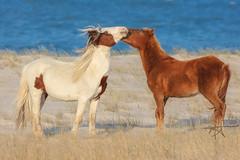 Affection (Michael Rickard) Tags: wildhorse horse beach seashore assateague assateagueisland nationalseashore maryland findyourpark blue sand