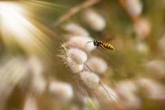 ... (Theophilos) Tags: bee flight wildflowers spring nature μέλισσα πτήση αγριολούλουδα άνοιξη φύση