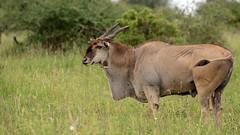 Nairobi-Nationalpark-7274 (ovg2012) Tags: commoneland eland elenantilope kenia kenya nairobi nairobinationalpark safari