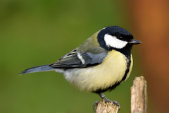 Great Tit (42jph) Tags: big waters nature reserve wildlife bird nikon d7200 sigma 150500 uk england northumberland great tit
