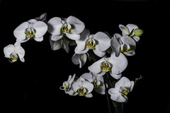 White Orchids With Yellow And Orange Centers (Bill Gracey 18 Million Views) Tags: orchids white yellowcenters blackbackground lastoliteezbox softbox yongnuo yongnuorf603n nature naturalbeauty floralphotography flowers flores