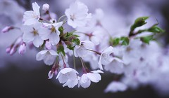 Take the last cherry blossoms this year._A9_9250 (nabe121) Tags: sony α9 ilce9 fe emount sonyalpha sigma samount 135mm f18 dg hsm art a017 silkypixdeveloperstudiopro8 mc11 さくら 桜 サクラ cherry blossom