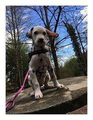 Album Chiens Clients Janvier-Avril 2018 (7) (Dalmatien-Golden-Braque) Tags: dalmatien goldenretriever braquedeweimar chien carcassonne elevage eleveur animaux dog breader
