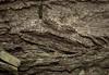 Scioglyptis canescaria (dustaway) Tags: arthropoda insecta lepidoptera geometridae ennominae scioglyptis scioglyptiscanescaria barkmoth australianmoths australianinsects geometermoth geometridmoth crypsis camouflage bark clagiraba coomeravalley sequeensland queensland australia