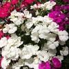 flowers (Hideki Iba) Tags: white iphone osaka japan plant 花 植物 大阪 日本 色 colorful color