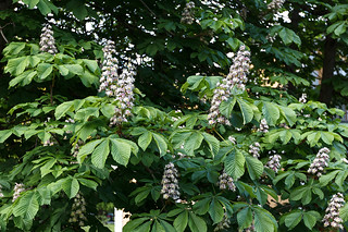 Blossoming of chestnut