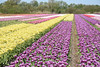 Purple and yellow tulips, Noordwijkerhout, May 6, 2018 (cklx) Tags: tulips bollenstreek spring holland 2018 tulpen kleurrijk rood geel wit roze pink purple orange red yellow noordwijkerhout