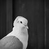Dove (CarSaBe) Tags: beak bird vogel animal tier schnabel feather feder gefieder lumix sqaure holz wood eyes augen face gesicht portrait porträt flügel wings black white schwarz weis pigeon