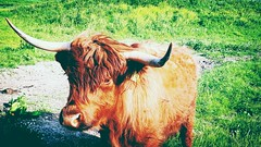 .Friendly faces along my cycling path today around my neighbourhood..a family of highland cattles from Scotland ❤ (iȠeRtiɊ ● Neverfar) Tags: highlandcattle holland cycling wald
