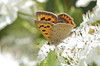 Butterfly - Small Copper (Prank F) Tags: rspb thelodge sandy bedfordshireuk wildlife nature insect macro closeup butterfly small copper