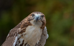 raptor (Dotsy McCurly) Tags: nikond750 tamron18400mmf3563 raptor bird large nature beautiful nj newjersey smileonsaturday eyecatcher redtailedhawk