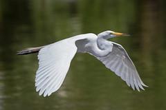 Great White Egret (Simon Stobart (Catching Up and Editing)) Tags: orlando florida unitedstates us great white egret flying ardea alba