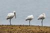 Three spoonbills (Chalto!) Tags: keyhaven bird hampshire newforest pennington spoonbill three