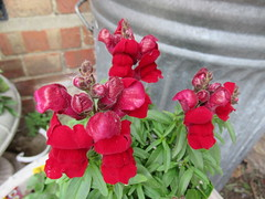 Wednesday, 23rd, Red Antirrhinum IMG_8892 (tomylees) Tags: essex morning spring may 2018 23rd wednesday garden snapdragon red