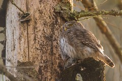 Eurasian pygmy owl (Glaucidium passerinum) – sóweczka zwyczajna (tomaszberlin) Tags: owl pigmyowl poland białowieża forest nature wildlife nikon d500 birdwatching bw ng animal bird wood tree pray mouse