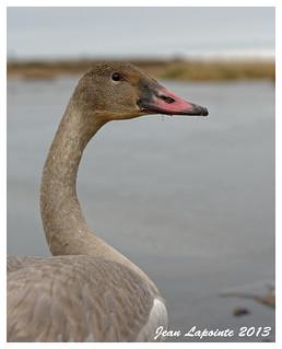 Cygne trompette - Trumpeter swan - Cygnus buccinator