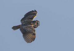 Long-eared owl - Unexpected encounter (Ann and Chris) Tags: longearedowl kvassheim hornugle norway coast bird raptor beautiful flying sky wildlife wild nature