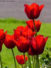 image8641kk (Céline Bizot-Zanatta Photographie) Tags: fleurs tulipes rouge lumière extérieur journée printemps pelouse closeup macro