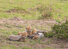 Naptime for cheetah cubs (WhiteEye2) Tags: cheetahcubs masaimara kenya africa naptime wildlife nature babyanimals cheetah bigcats cute adorable