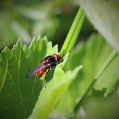 Rhingia campestris (Julie (thanks for 9 million views)) Tags: rhingiacampestris hww wingwednesday squareformat 2018onephotoeachday fly diptera macro green foliage leaf wexford