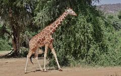 Reticulated Giraffe (Giraffa camelopardalis reticulata) (Susan Roehl) Tags: kenya2015 samburunationalreserve eastafrica reticulatedgiraffe giraffacamelopardalisreticulata somaligiraffe caninterbreedwithothersubspecies ninegiraffesubspecies sueroehl naturalexposures photographytours panasonic 100300mmlens handheld animal mammal herbivore ungulates coth5 ngc npc