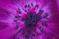 Blue Center (fs999) Tags: 100iso fs999 fschneider aficionados zinzins pentaxist pentaxian pentax k1 pentaxk1 fullframe justpentax flickrlovers ashotadayorso topqualityimage topqualityimageonly artcafe pentaxart corel paintshop paintshoppro 2018ultimate paintshoppro2018ultimate masterphotos fleur flower blume bloem macrolife macro makro tamronspafdi90mmf28macro tamron sp af di 90mm macrolens 11 f28 metzflash52af1digital metz flash metz52af1 ray rayflash universal l adaptateur annulaire ring adapter