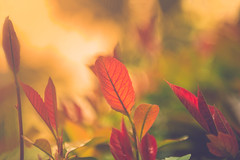 Spring haze (Ro Cafe) Tags: garden sunset nature flora leaves light sunlight red green yellow soft softfocus colorful spring springtime sprouts nikkor2470f28 nikond600