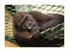 have a relaxed weekend (rscholle) Tags: darwineum zoorostock zoo gorilla