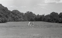 The Big One (Neal3K) Tags: bw blackandwhite d76developer fpp200film filmphotographyproject henrycountyga georgia iccd2018 horse pasture filmgrain