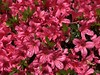 tsutsuji (Hideki Iba) Tags: iphone osaka japan plant tsutsuji 躑躅 ツツジ 大阪 日本 花 植物 自然 nature