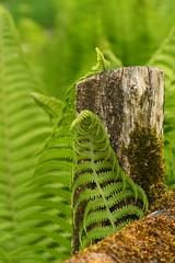 A fern scratching its back (juliecarmen.fahy) Tags: macro macrophotography macrophotographie colors nature botanical garden plants fern ferns fougère green spring