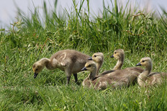 And the Gooslings (PDX Bailey) Tags: goose bird goosling cute baby green grass canon dslr telephoto camera
