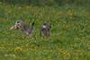 Haas (Leo Kramp) Tags: 2018 bentwoud haas gitzogt3542ltripod wandelen caselogicslr206 natuurfotografie dieren benrogimbalheadgh2 zoogdieren accessoires moerkapelle zuidholland nederland nl flickr