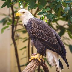 American (Thomas Hawk) Tags: america americanbaldeagle forestpark missouri mo saintlouiszoo stlouis usa unitedstates unitedstatesofamerica baldeagle bird eagle zoo fav10 fav25