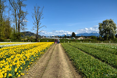 Tulips of the Valley Festival (SonjaPetersonPh♡tography) Tags: tulipfestival tulipsofthevalleyfestival tulipsofthevalley chilliwack britishcolumbia bc fraservalley tulips daffodils landscape mountainlandscape tulipfields flowers gardens plants mountains scenery scenic blooms festival canada nikon nikond5300 fields